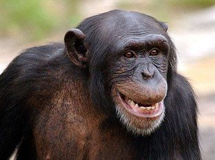 Chimpanzees' behaviour compares favourably with Australian bosses, according to research.
